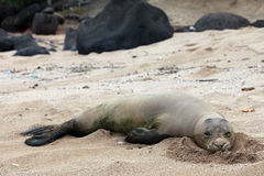Monk Seal, Hawaii Royalty Free Stock Photography
