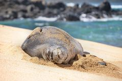 Monk Seal Stock Image