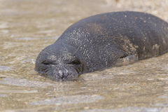 Monk seal on the island of Samos, Greece Royalty Free Stock Photography