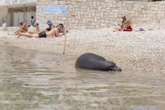 Monk seal on the island of Samos, Greece Royalty Free Stock Image