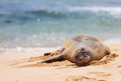 Monk seal at kauai Stock Photos