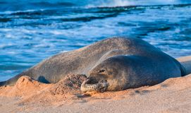 Monk Seal Laying on the Beach in Maui Hawaii stock images