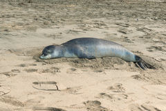 Monk seal relaxing on north shore kauai Royalty Free Stock Photography