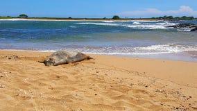 Monk seal on sandy beach royalty free stock image