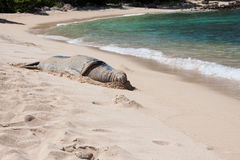 Monk seal rests on a Hawaiian beach Royalty Free Stock Photos