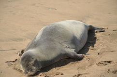 Monk seal taking a nap Stock Photo