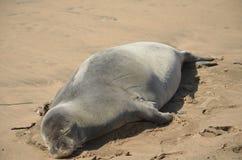 Monk seal taking a nap Stock Photo