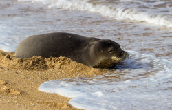 Monk Seal on Tunnels beach Kauai Stock Images