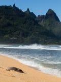 Monk Seal on Tunnels beach Kauai Royalty Free Stock Image