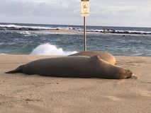 Monk Seals Beach Out stock image