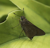 Monk Skipper Butterfly Royalty Free Stock Photos