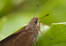 Monk Skipper Butterfly Close Up Royalty Free Stock Photo