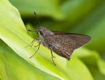 Monk Skipper Butterfly on Green Leaf Royalty Free Stock Image