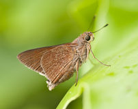 Monk Skipper Butterfly on Green Leaf Stock Photo