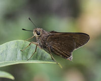 Monk Skipper Butterfly on Green Leaf Stock Photos