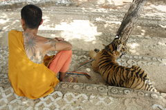 Monk and the Tiger. Buddhist monk and the Tiger in a Tiger Temple, Kanchanaburi province, Thailand royalty free stock photos