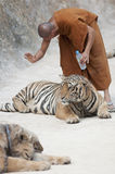 Monk and Tiger Royalty Free Stock Image