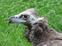 Monk vulture. Profile Stock Photo