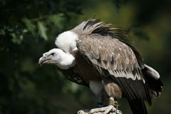 Monk vulture royalty free stock photo
