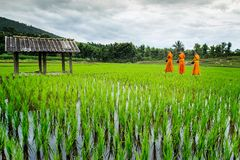 Monk Walk on Terrace rice field over the mountain Royalty Free Stock Photo