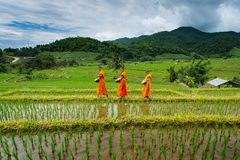 Monk Walk on Terrace rice field over the mountain stock images