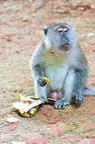 Monket eat biscuit Stock Photography