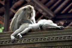 Monkey's love on Bali stock photos
