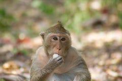 """Monkeyï ½ """"som äter arkivfoton"""