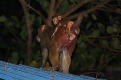 Monkey妈妈 免版税图库摄影