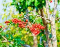 Monkey a árvore da flor, fogo de bonito vermelho de Paquistão Foto de Stock