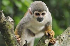 monkey белка стоковые изображения