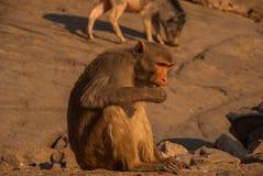 Monkey висок jaipur Индия стоковое изображение