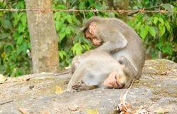 Monkey вош рудоразборки от другой обезьяны - поведения Стоковая Фотография