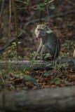 Monkey в среду обитания природы острова komodo Стоковые Фото
