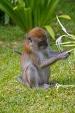 Monkey4, Малайзия стоковые фотографии rf