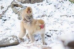 Monkey мама и ее младенец - изображение запаса Стоковые Фотографии RF
