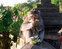 Monkey на виске Uluwatu - Бали, Индонезии Стоковая Фотография RF