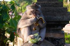 Monkey на виске Uluwatu - Бали, Индонезии Стоковые Изображения RF