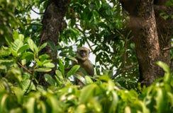 Monkey на дереве наблюдая к камере стоковые изображения rf