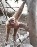 Monkey на дереве имея хороший взгляд на людях Стоковая Фотография