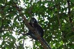 Monkey, обезьяна лист Dusky obscurus Trachypithecus langur лист spectacled стоковые изображения rf