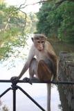 Monkey ослаблять в окружающей среде с предпосылкой Iin потока реки Стоковое Фото