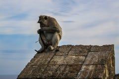 Monkey похититель в виске в Бали, Индонесии Uluwatu стоковое изображение rf