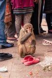 Monkey прожитие в виске Swayambu Nath, Катманду, Непал стоковые фото