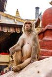 Monkey прожитие в виске Swayambunath, Катманду, Непал стоковые фото