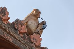 Monkey сидеть на крыше виска в Vrindavana Стоковая Фотография RF