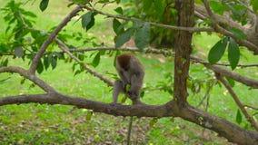 Monkey сидеть на чистке дерева и еда манго видеоматериал