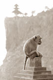 Monkey. A big Monkey from the island bali Royalty Free Stock Image