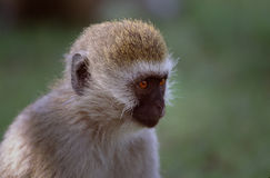 Monkey. Taken in the masi mara in Tanzania stock images