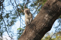 Monkey. Beautiful Vervet Monkey standing on a tree in South Africa stock images